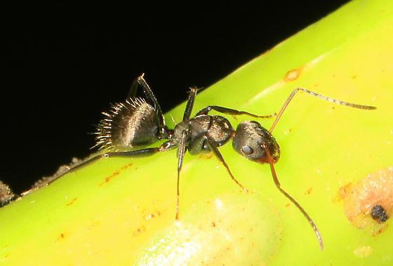 dark Carpenter Ant with reddish antennae - Camponotus novogranadensis