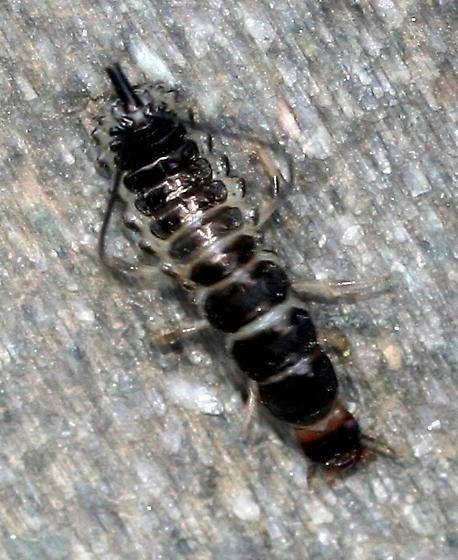 Beetle larva? - Chlaenius