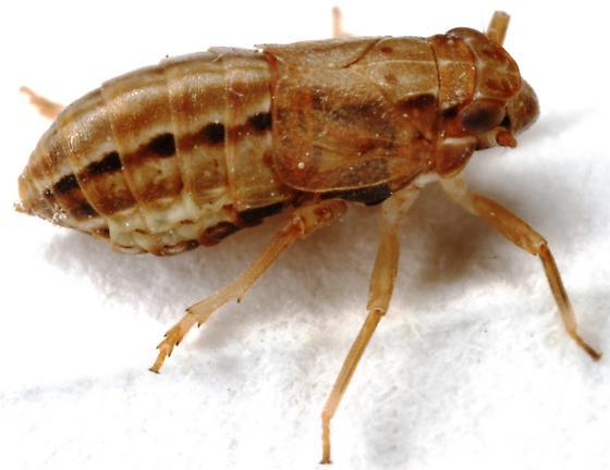 Piglet Bug or Issid Bug - Asarcopus palmarum - female