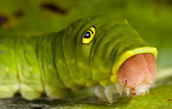 Eastern Tiger Swallowtail Caterpillar - Papilio glaucus