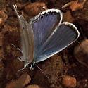 Utah Blue - Cupido amyntula