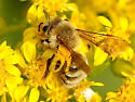Mining Bee - Andrena hirticincta - female