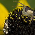 Crab Spider and Sedge Moth - Mecaphesa