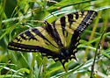 western tiger swallowtail - Papilio rutulus - female