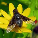 Bee Fly - Paravilla separata