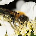 Megachilidae? - Xylocopa virginica