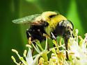 syrphid fly - Eristalis flavipes