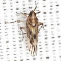 Planthopper - Megamelus