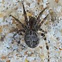 Gray Cross Spider - Larinioides sclopetarius - female