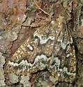 Gray Spruce Looper - Caripeta divisata - female