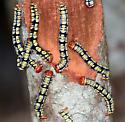 white-tailed black moth - Melanchroia chephise
