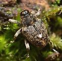 Lechriops oculata? - Lechriops oculatus