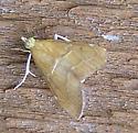 Moth - Glaphyria sesquistrialis