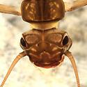 Stonefly - Malirekus iroquois