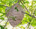 ? Bald Hornets' Nest  - Dolichovespula