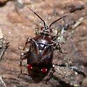 Deraeocoris poecilus (McAtee, 1919) - Deraeocoris poecilus