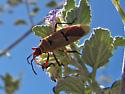 Bug ID? - Dysdercus bimaculatus