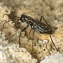 Wetsalts Tiger Beetle from Owens Lake - Cicindelidia haemorrhagica