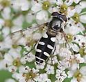Black and White Flower Fly - Melangyna