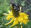 Rudbeckia californica flower - Gnophaela latipennis