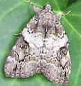 Underwing - Catocala micronympha