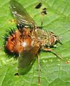 Family Tachinidae Hystricia abrupta - Hystricia abrupta