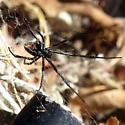 spider - Latrodectus hesperus
