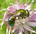 metallic green bee - Augochlora pura