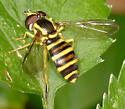 syrphid - Xanthogramma flavipes - female