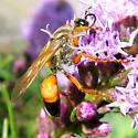 big wasp on liatris - Sphex ichneumoneus - female