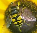 Syrphid Flies  Eristalis transversa - Transverse Flower Fly Male - Eristalis transversa - male
