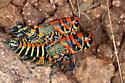 Grasshopper - Dactylotum bicolor