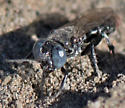 digging wasp - black with blue eyes, white hair, red tip - Tachysphex