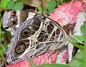 American Lady Butterfly? - Vanessa virginiensis