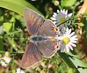 Butterfly Possibly Grey Hairstreak - Strymon Melinus - Strymon melinus