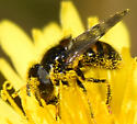 Syrphiid Fly - Copestylum
