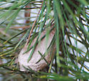 Cocoon found nestled in an ornamental plant.