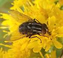 Muscidae - Graphomya