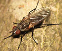 fly - Hydrotaea - male