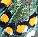 Pipevine Swallowtail wing - Battus philenor
