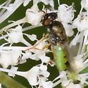Soldier Fly? - Odontomyia virgo - female