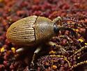 Flower Weevil - Geraeus picumnus