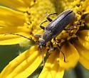 Cerambycidae - Cortodera