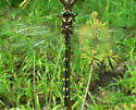 Delta-spotted Spiketail - Cordulegaster diastatops - male