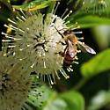 Bee Yellow Jacket - Apis mellifera