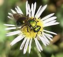 Ecology bug project - Augochlora pura