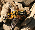 Syrphid Fly with longitudanal stripes on the thorax - Helophilus fasciatus - male