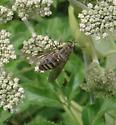 Horse fly - Stonemyia
