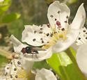 Unknown fly on pear blossom.