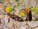 Master Blister Beetles Mating - Lytta magister - male - female
